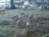 Élevage de porcs