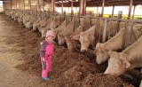 Élevage de vaches